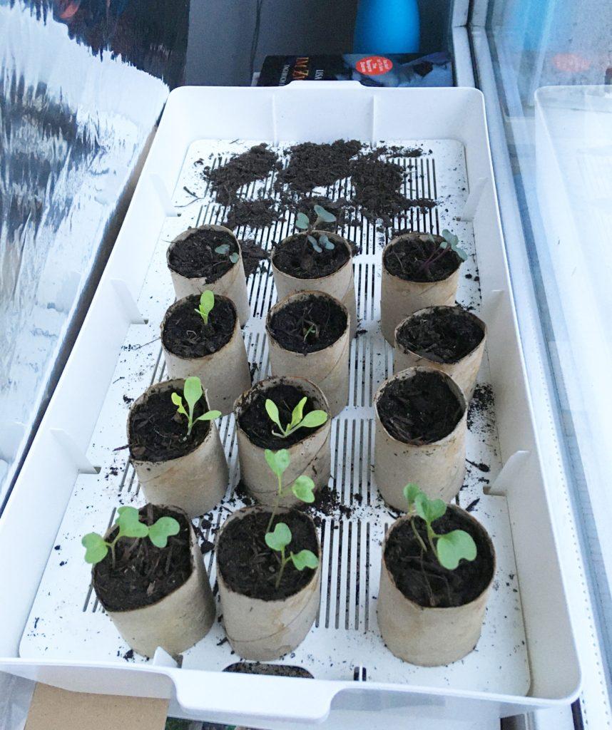Kleingaertnern_Pflanzen_Vorziehen_Februar