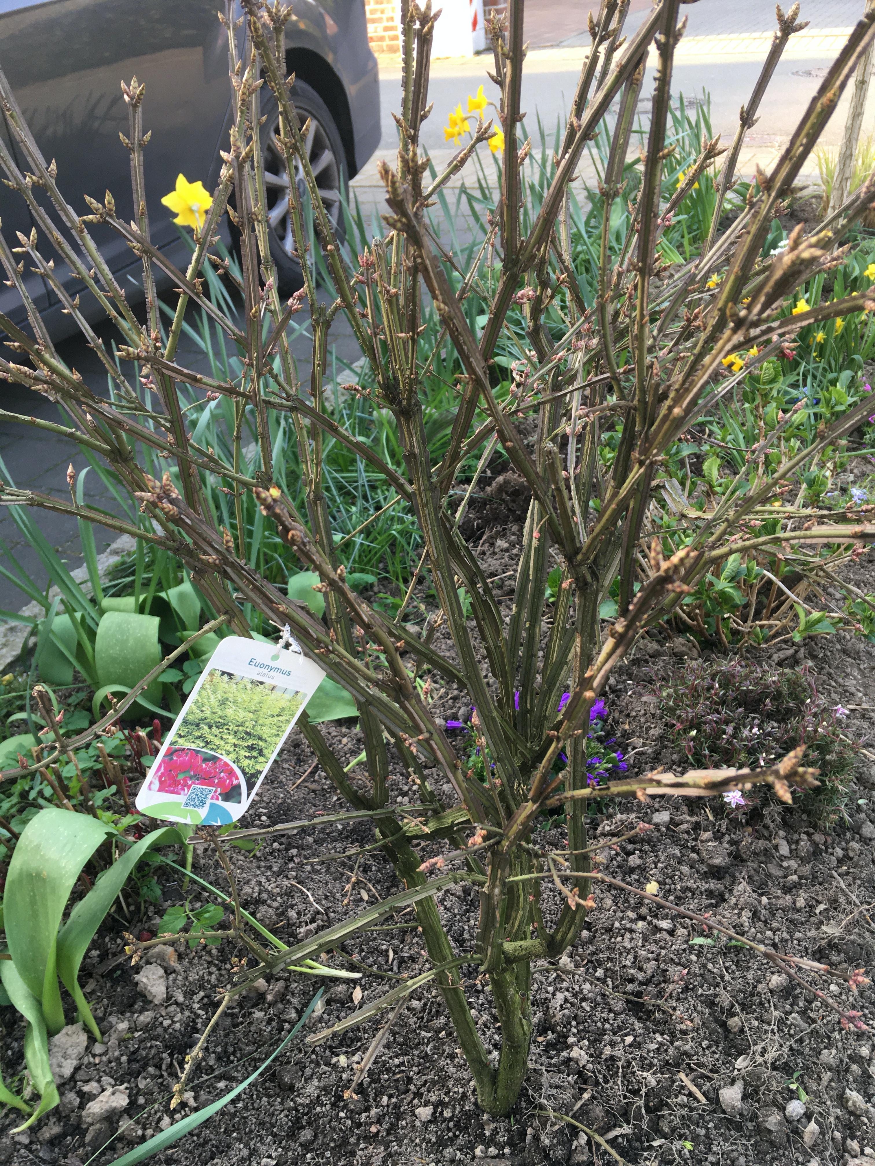 beet anlegen einfahrt schatten pflanzen euonymus altus