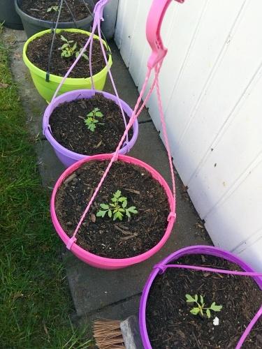 haengetomaten tomatenampeln gaertnern april abhaerten