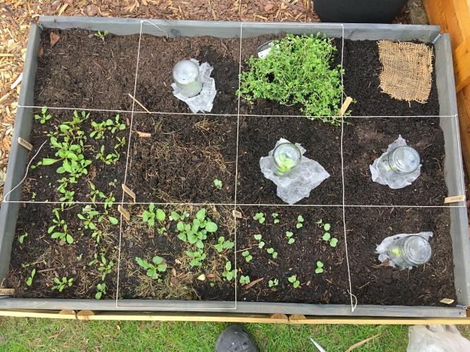 kleingarten schaedlinge salat larven natuerlich bekaempfen