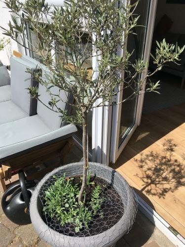 sommerblumen olivenbaum mischkultur gaertnern april wachstum
