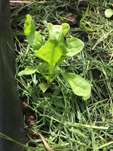 spinat gaertnern april pflanzen pflegen ernten