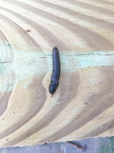 tipula larven gemuesebeet bekc3a4mpfen