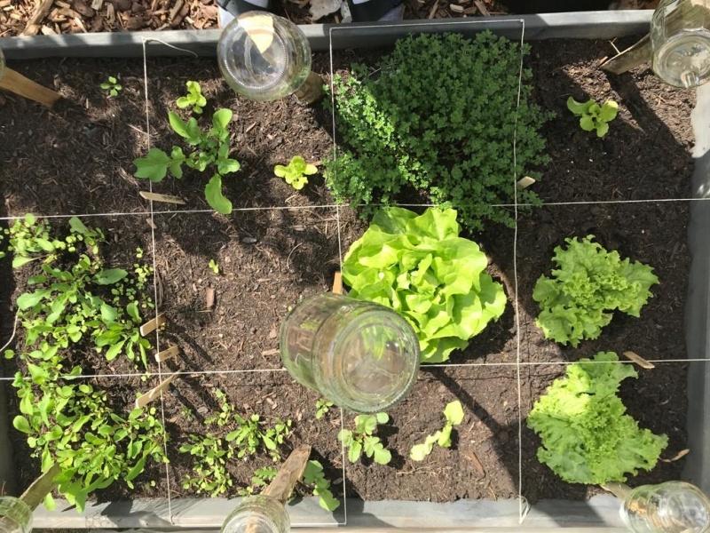 kleingaertnern squaregardening urbangardening mischkultur salat kopfsalat pfluecksalat