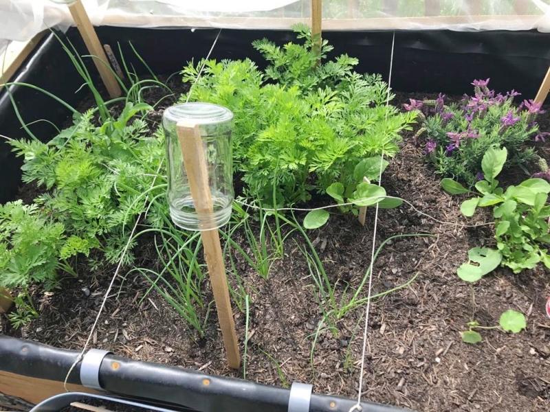 Gemüse im Mai Zwiebeln Möhren