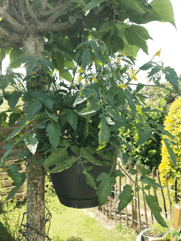 Gemuesegarten Kleingaertnern Blog Erfahrungen Tipps Urban Gardening Ampeltomate