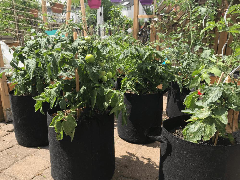 Gemuesegarten Kleingaertnern Blog Erfahrungen Tipps Urban Gardening Buschtomaten Wachstum