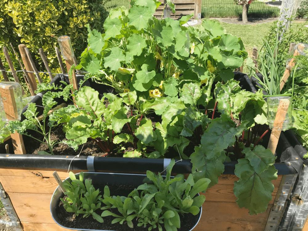 Gemuesegarten Kleingaertnern Blog Erfahrungen Tipps Urban Gardening Gruenkohl Rote Bete Kapuzinerkresse 1