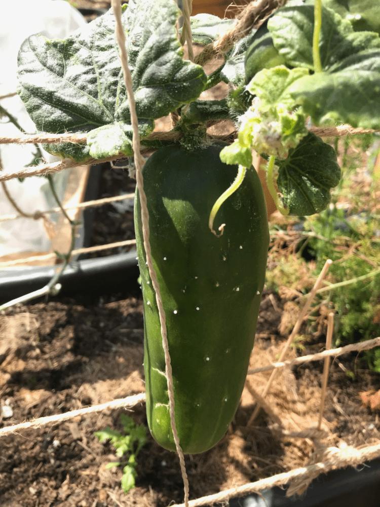 Gemuesegarten Kleingaertnern Blog Erfahrungen Tipps Urban Gardening Gurke Tanja