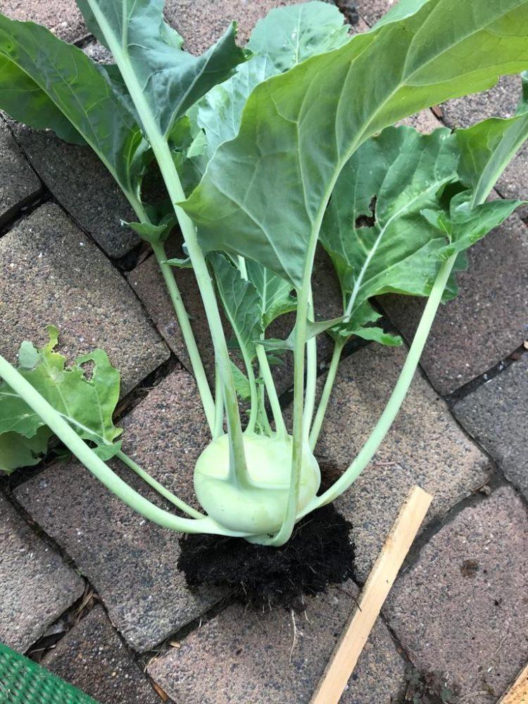 Gemuesegarten Kleingaertnern Blog Erfahrungen Tipps Urban Gardening Kohlrabi ernten
