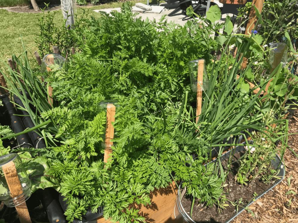 Gemuesegarten Kleingaertnern Blog Erfahrungen Tipps Urban Gardening Moehren Zwiebeln Mischkultur