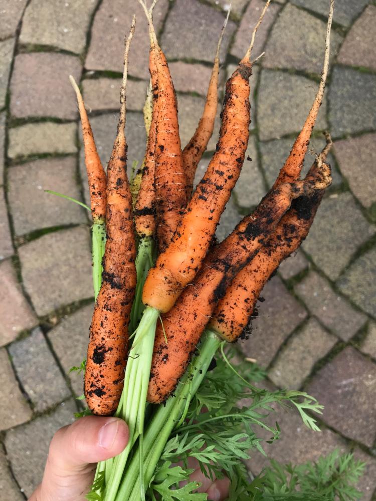 Gemuesegarten Kleingaertnern Blog Erfahrungen Tipps Urban Gardening Moehren ernten