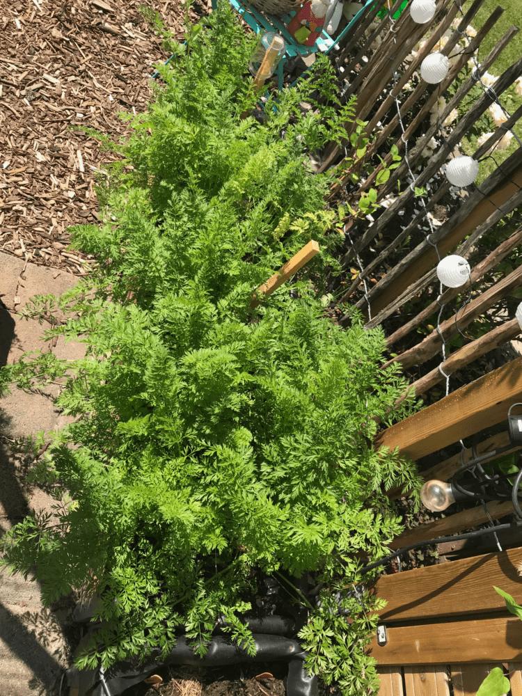 Gemuesegarten Kleingaertnern Blog Erfahrungen Tipps Urban Gardening Moehren ernten Juni