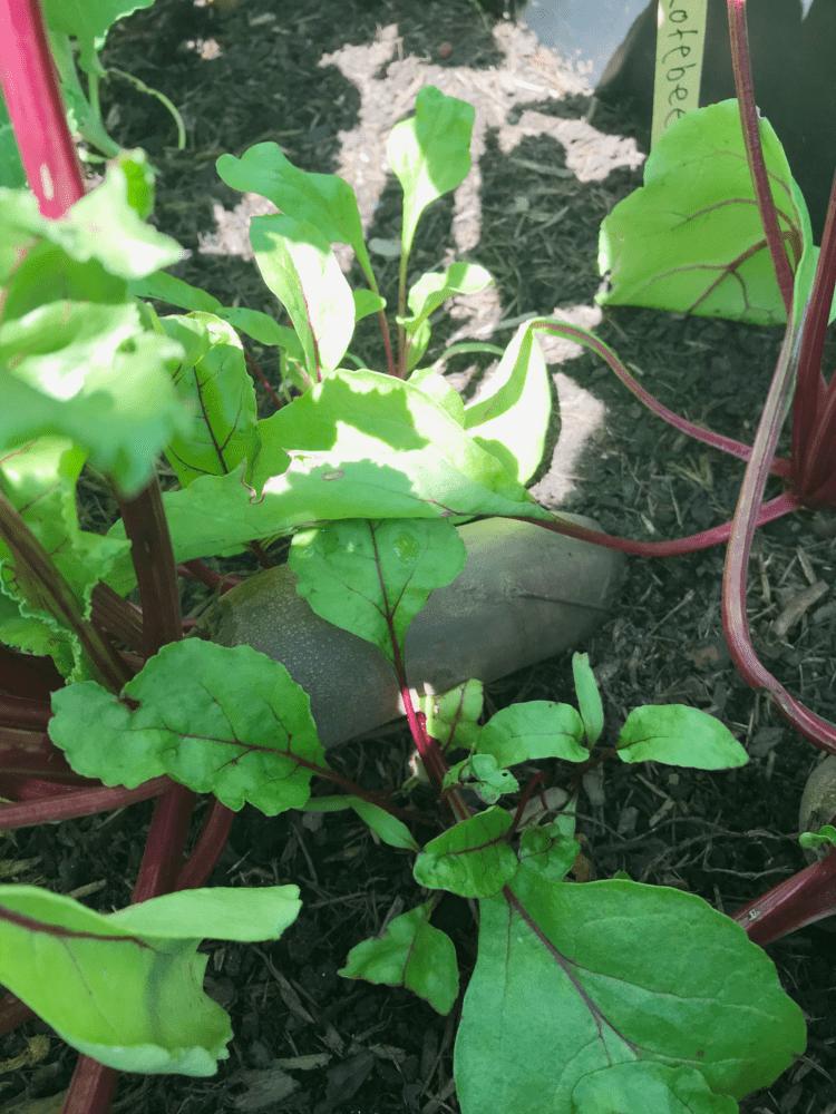 Gemuesegarten Kleingaertnern Blog Erfahrungen Tipps Urban Gardening Rote Bete