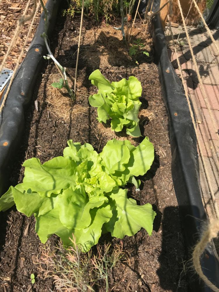 Gemuesegarten Kleingaertnern Blog Erfahrungen Tipps Urban Gardening Salat MIschkultur