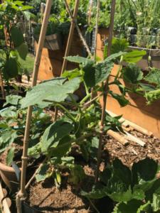 Gemuesegarten Kleingaertnern Blog Erfahrungen Tipps Urban Gardening Snackgurke