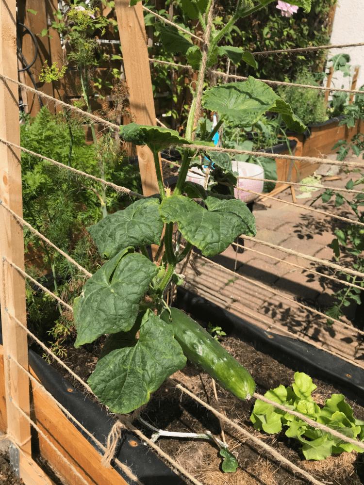 Gemuesegarten Kleingaertnern Blog Erfahrungen Tipps Urban Gardening Tanja Gurke