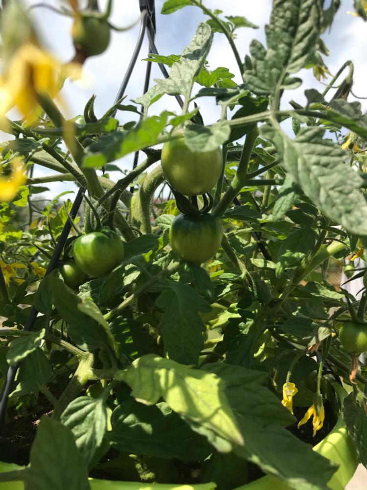 Gemuesegarten Kleingaertnern Blog Erfahrungen Tipps Urban Gardening Wildtomaten Ampeltomate Sichtschutz