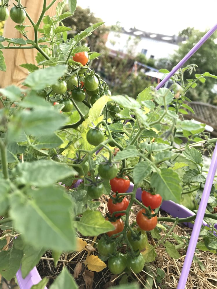 Red Currant Tomate Juli