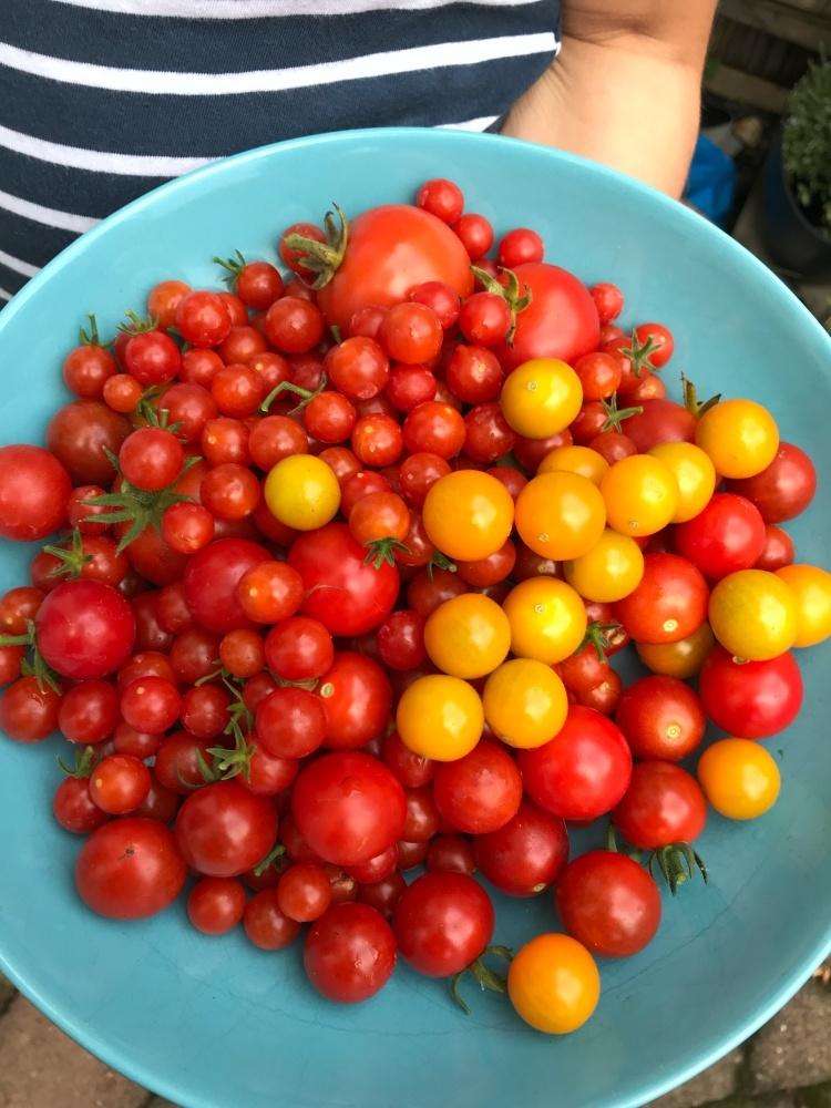 Tomaten garten august