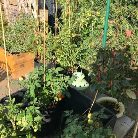 Tomaten September