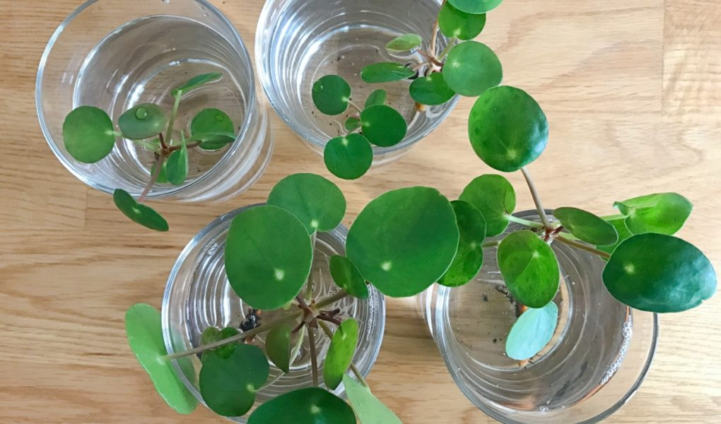 Pilea pepermioides im Wasser vermehren