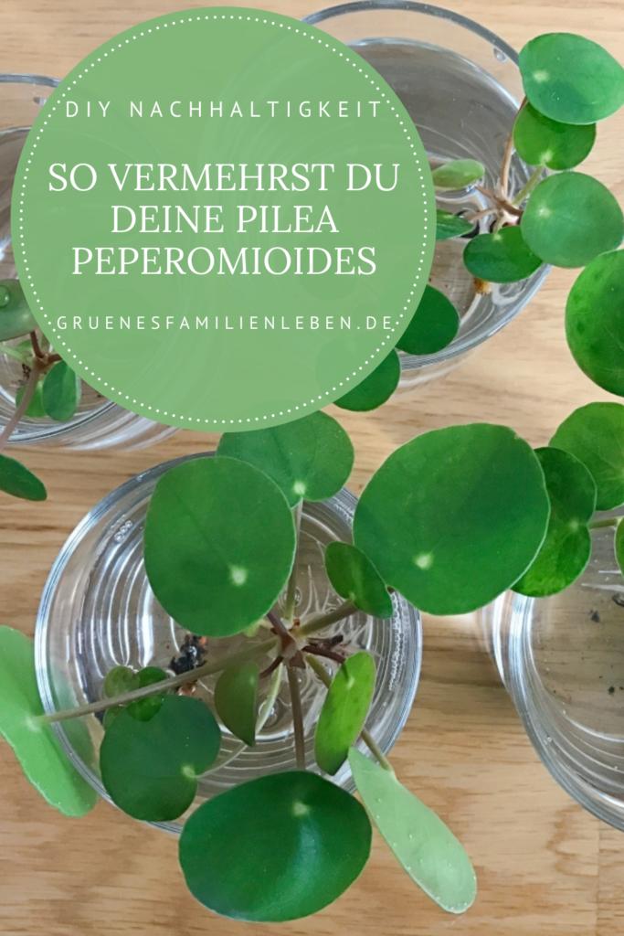 Pilea Peperomioides vermehren