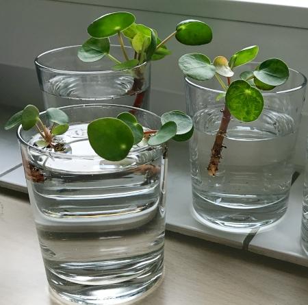 pilea vermehren wasser